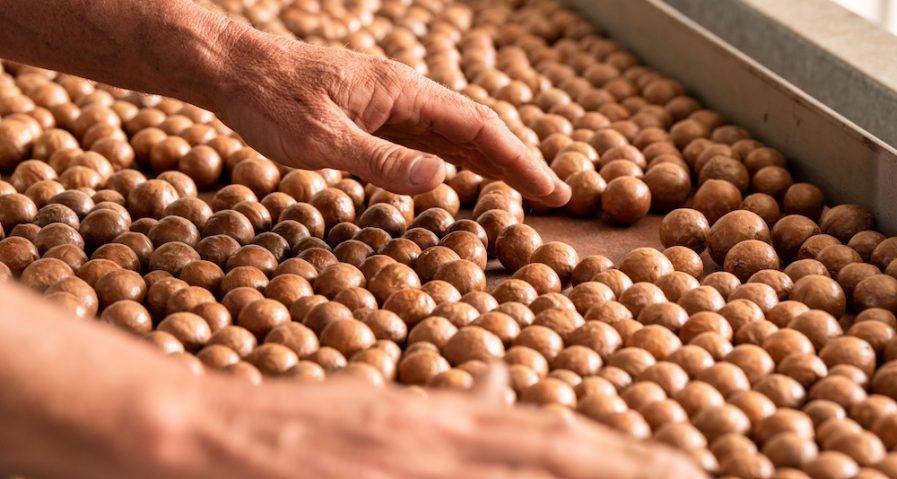 Australian macadamia nuts freshly harvested